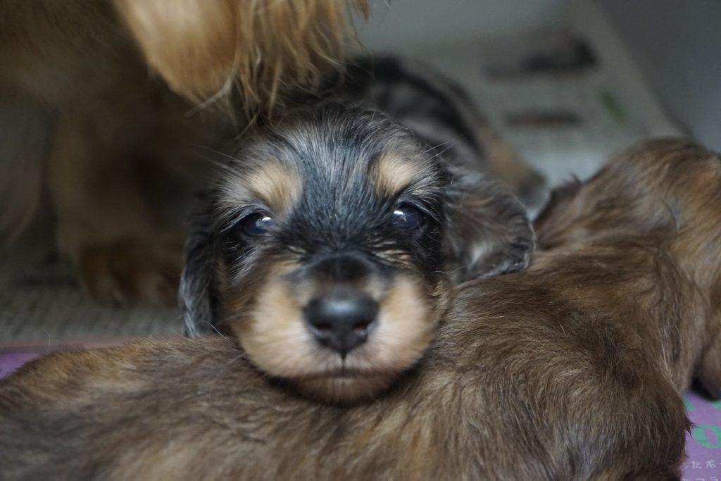 ダックス子犬