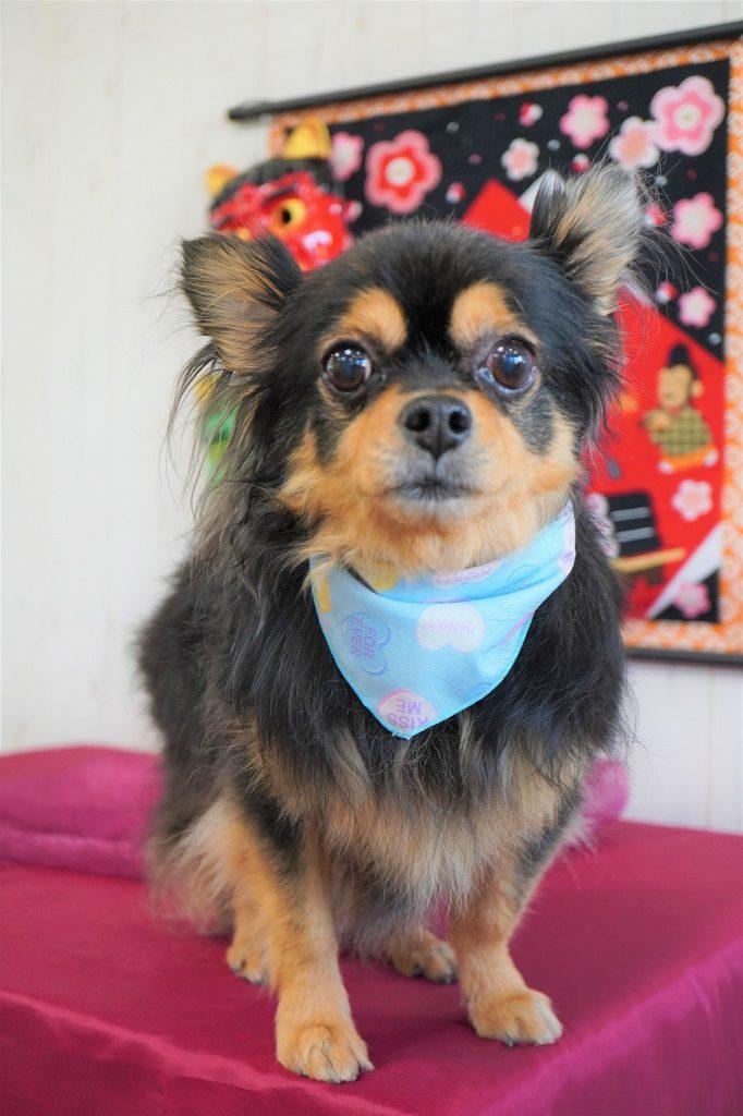 ベルゼダックス 子犬の写真